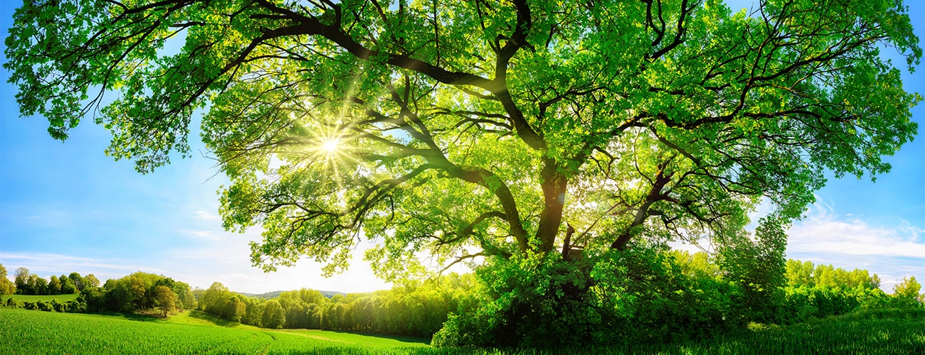 The sun shining through a majestic green oak tree on a meadow